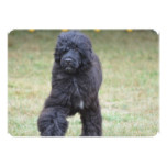 Black Portuguese Water Dog Card