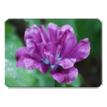 Perfectly Purple Parrot Tulip Card